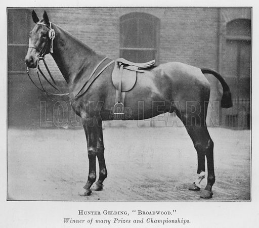 Hunter Gelding, Broadwood, Winner of many Prizes and Championships. Illustration for British Breeds of Live Stock (2nd edn, Board of Agriculture and Fisheries, London, 1913).