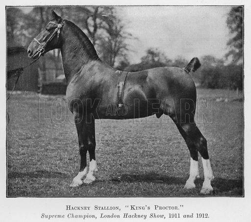 Hackney Stallion, King's Proctor, Supreme Champion, London Hackney Show, 1911 and 1912. Illustration for British Breeds of Live Stock (2nd edn, Board of Agriculture and Fisheries, London, 1913).