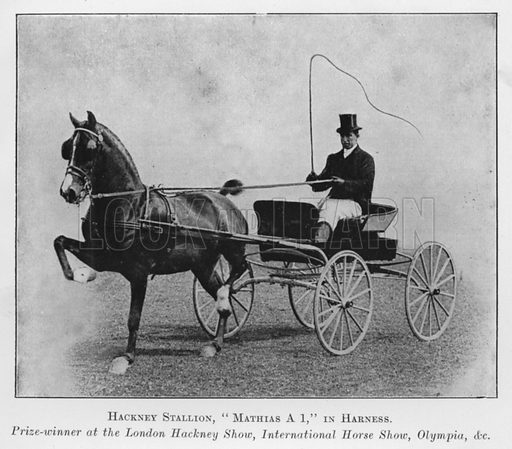 Hackney Stallion, Mathias A 1, in Harness, Prize-winner at the London Hackney Show, International Horse Show, Olympia, etc. Illustration for British Breeds of Live Stock (2nd edn, Board of Agriculture and Fisheries, London, 1913).