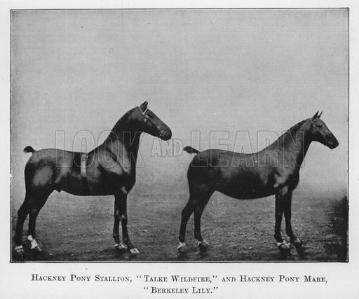 Hackney Pony Stallion, Talke Wildfire, and Hackney Pony Mare, Berkeley Lily. Illustration for British Breeds of Live Stock (2nd edn, Board of Agriculture and Fisheries, London, 1913).