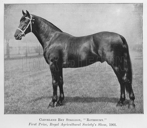 Cleveland Bay Stallion, Rothbury, First Prize, Royal Agricultural Society's Show, 1901. Illustration for British Breeds of Live Stock (2nd edn, Board of Agriculture and Fisheries, London, 1913).