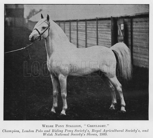 Welsh Pony Stallion, Greylight, Champion, London Polo and Riding Pony Society's, Royal Agricultural Society's, and Welsh National Society's Shows, 1909. Illustration for British Breeds of Live Stock (2nd edn, Board of Agriculture and Fisheries, London, 1913).