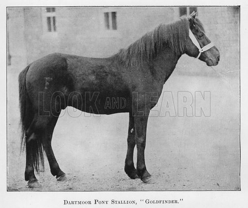 Dartmoor Pony Stallion, Goldfinder. Illustration for British Breeds of Live Stock (2nd edn, Board of Agriculture and Fisheries, London, 1913).
