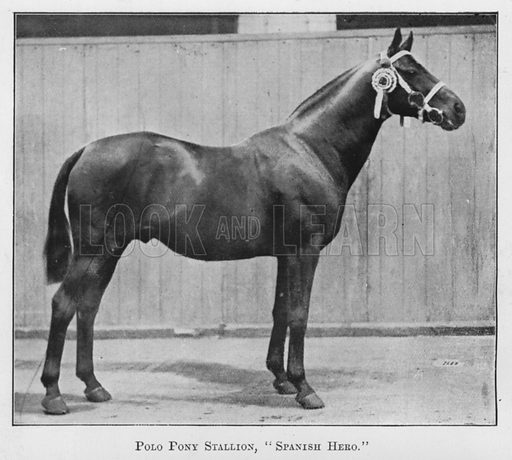 Polo Pony Stallion, Spanish Hero. Illustration for British Breeds of Live Stock (2nd edn, Board of Agriculture and Fisheries, London, 1913).