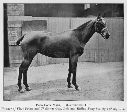 Polo Pony Mare, Mavourneen II, Winner of First Prizes and Challenge Cup, Polo and Riding Society's Show, 1912. Illustration for British Breeds of Live Stock (2nd edn, Board of Agriculture and Fisheries, London, 1913).
