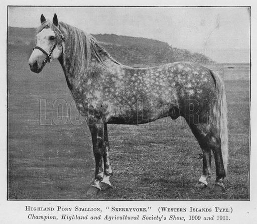 Highland Pony Stallion, Skerryvore, Western Islands Type, Champion, Highland and Agricultural Society's Show, 1909 and 1911. Illustration for British Breeds of Live Stock (2nd edn, Board of Agriculture and Fisheries, London, 1913).