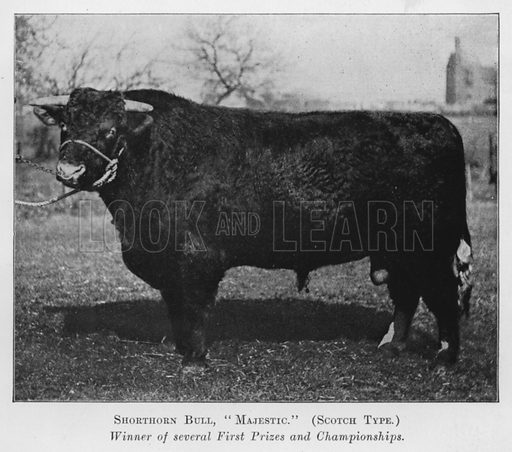 Shorthorn Bull, Majestic, Scotch Type, Winner of several First Prizes and Championships. Illustration for British Breeds of Live Stock (2nd edn, Board of Agriculture and Fisheries, London, 1913).