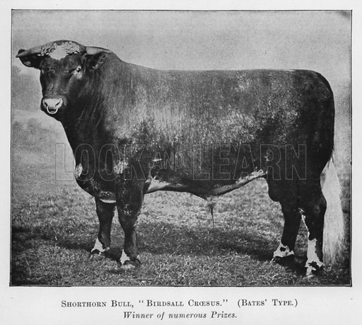 Shorthorn Bull, Birdsall Croesus, Bates' Type, Winner of numerous Prizes. Illustration for British Breeds of Live Stock (2nd edn, Board of Agriculture and Fisheries, London, 1913).