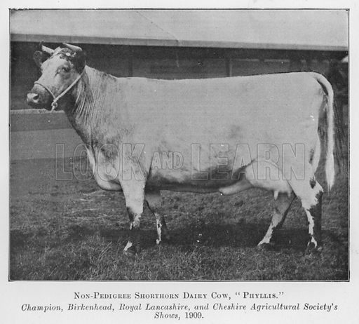 Non-Pedigree Shorthorn Dairy Cow, Phyllis, Champion, Birkenhead, Royal Lancashire, and Cheshire Agricultural Society's Shows, 1909. Illustration for British Breeds of Live Stock (2nd edn, Board of Agriculture and Fisheries, London, 1913).
