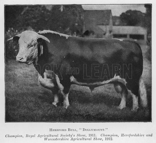 Hereford Bull, Dollymount, Champion, Royal Agricultural Society's Show, 1911, Champion, Herefordshire and Worcestershire Agricultural Show, 1912. Illustration for British Breeds of Live Stock (2nd edn, Board of Agriculture and Fisheries, London, 1913).
