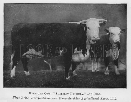 Hereford Cow, Shelsley Primula, and Calf, First Prize, Herefordshire and Worcestershire Agricultural Show, 1912. Illustration for British Breeds of Live Stock (2nd edn, Board of Agriculture and Fisheries, London, 1913).
