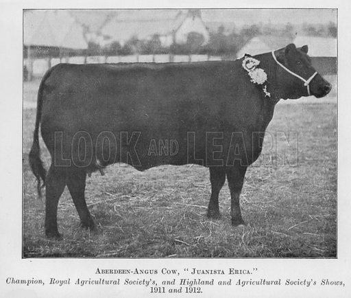 Aberdeen-Angus Cow, Juanista Erica, Champion, Royal Agricultural Society's, and Highland and Agricultural Society's Shows, 1911 and 1912. Illustration for British Breeds of Live Stock (2nd edn, Board of Agriculture and Fisheries, London, 1913).