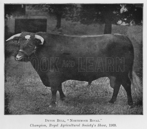 Devon Bull, Northmoor Royal, Champion, Royal Agricultural Society's Show, 1909. Illustration for British Breeds of Live Stock (2nd edn, Board of Agriculture and Fisheries, London, 1913).