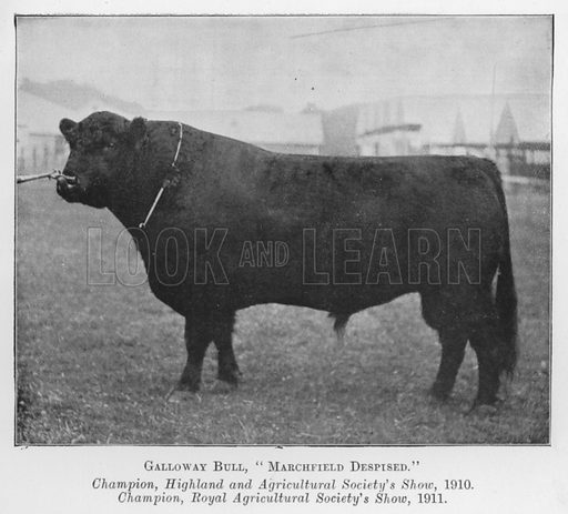 Galloway Bull, Marchfield Despised, Champion, Highland and Agricultural Society's Show, 1910, Champion, Royal Agricultural Society's Show, 1911. Illustration for British Breeds of Live Stock (2nd edn, Board of Agriculture and Fisheries, London, 1913).
