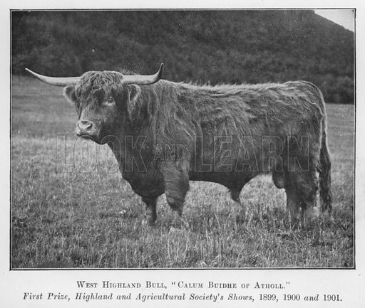 West Highland Bull, Calum Buidhe of Atholl, First Prize, Highland and Agricultural Society's Shows, 1899, 1900 and 1901. Illustration for British Breeds of Live Stock (2nd edn, Board of Agriculture and Fisheries, London, 1913).
