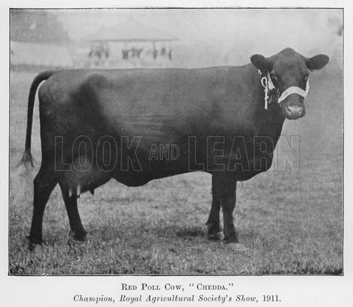 Red Poll Cow, Chedda, Champion, Royal Agricultural Society's Show, 1911. Illustration for British Breeds of Live Stock (2nd edn, Board of Agriculture and Fisheries, London, 1913).