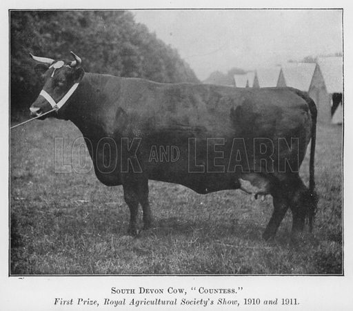 South Devon Cow, Countess, First Prize, Royal Agricultural Society's Show, 1910 and 1911. Illustration for British Breeds of Live Stock (2nd edn, Board of Agriculture and Fisheries, London, 1913).