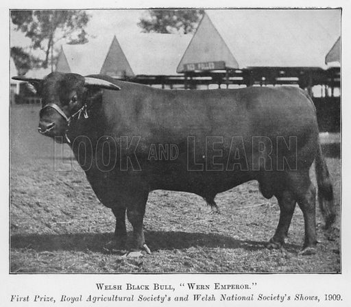 Welsh Black Bull, Wern Emperor, First Prize, Royal Agricultural Society's and Welsh National Society's Shows, 1909. Illustration for British Breeds of Live Stock (2nd edn, Board of Agriculture and Fisheries, London, 1913).