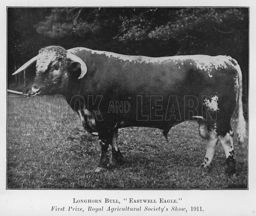 Longhorn Bull, Eastwell Eagle, First Prize, Royal Agricultural Society's Show, 1911. Illustration for British Breeds of Live Stock (2nd edn, Board of Agriculture and Fisheries, London, 1913).