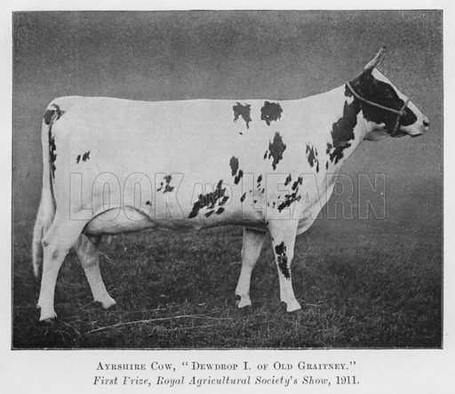 Ayrshire Cow, Dewdrop I of Old Graitney, First Prize, Royal Agricultural Society's Show, 1911. Illustration for British Breeds of Live Stock (2nd edn, Board of Agriculture and Fisheries, London, 1913).