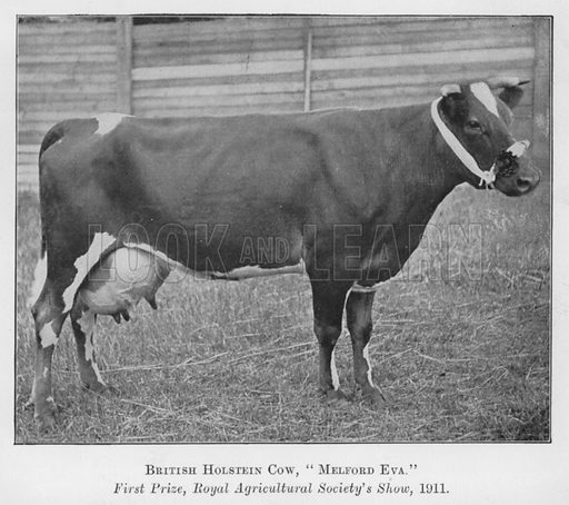 British Holstein Cow, Melford Eva, First Prize, Royal Agricultural Society's Show, 1911. Illustration for British Breeds of Live Stock (2nd edn, Board of Agriculture and Fisheries, London, 1913).