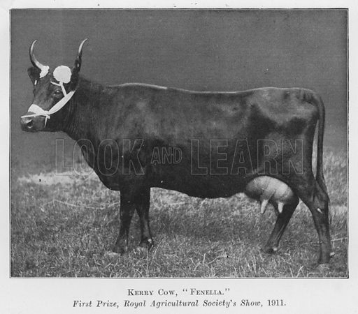 Kerry Cow, Fenella, First Prize, Royal Agricultural Society's Show, 1911. Illustration for British Breeds of Live Stock (2nd edn, Board of Agriculture and Fisheries, London, 1913).