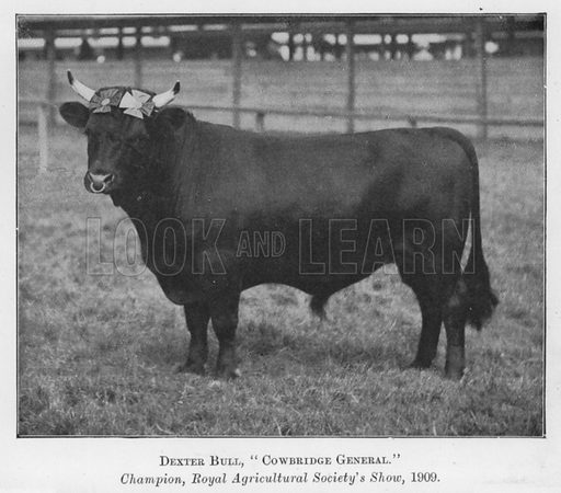 Dexter Bull, Cowbridge General, Champion, Royal Agricultural Society's Show, 1909. Illustration for British Breeds of Live Stock (2nd edn, Board of Agriculture and Fisheries, London, 1913).