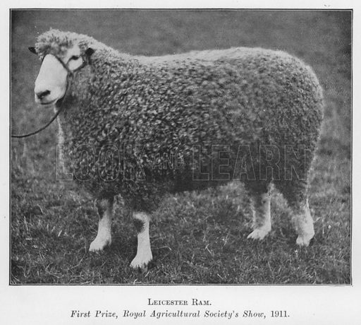 Leicester Ram, First Prize, Royal Agricultural Society's Show, 1911. Illustration for British Breeds of Live Stock (2nd edn, Board of Agriculture and Fisheries, London, 1913).
