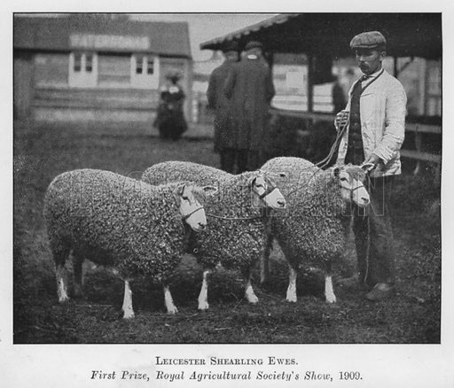 Leicester Shearling Ewes, First Prize, Royal Agricultural Society's Show, 1909. Illustration for British Breeds of Live Stock (2nd edn, Board of Agriculture and Fisheries, London, 1913).