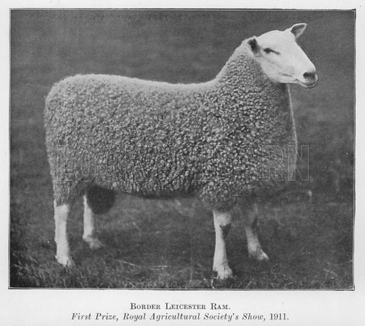 Border Leicester Ram, First Prize, Royal Agricultural Society's Show, 1911. Illustration for British Breeds of Live Stock (2nd edn, Board of Agriculture and Fisheries, London, 1913).
