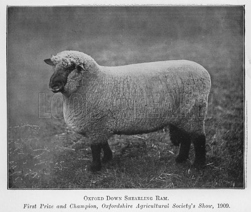 Oxford Down Shearling Ram, First Prize and Champion, Oxfordshire Agricultural Society's Show, 1909. Illustration for British Breeds of Live Stock (2nd edn, Board of Agriculture and Fisheries, London, 1913).