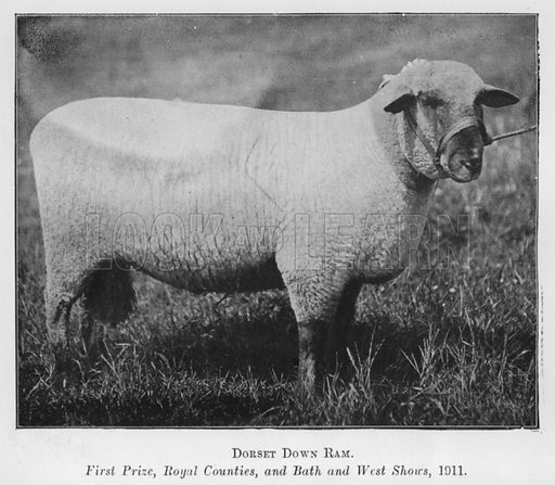 Dorset Down Ram, First Prize, Royal Counties, and Bath and West Shows, 1911. Illustration for British Breeds of Live Stock (2nd edn, Board of Agriculture and Fisheries, London, 1913).