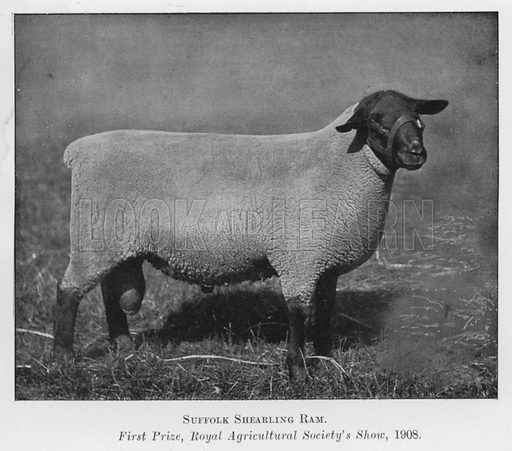 Suffolk Shearling Ram, First Prize, Royal Agricultural Society's Show, 1908. Illustration for British Breeds of Live Stock (2nd edn, Board of Agriculture and Fisheries, London, 1913).