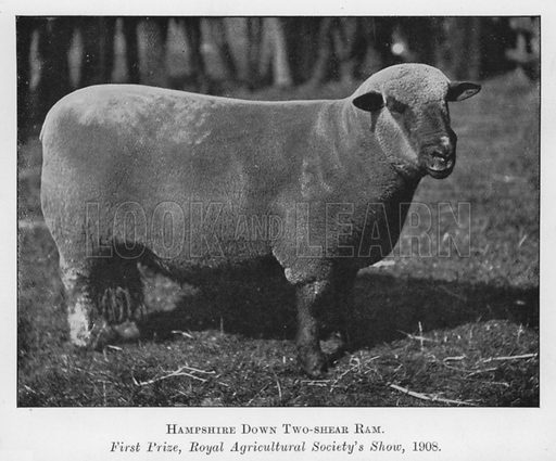 Hampshire Down Two-shear Ram, First Prize, Royal Agricultural Society's Show, 1908. Illustration for British Breeds of Live Stock (2nd edn, Board of Agriculture and Fisheries, London, 1913).