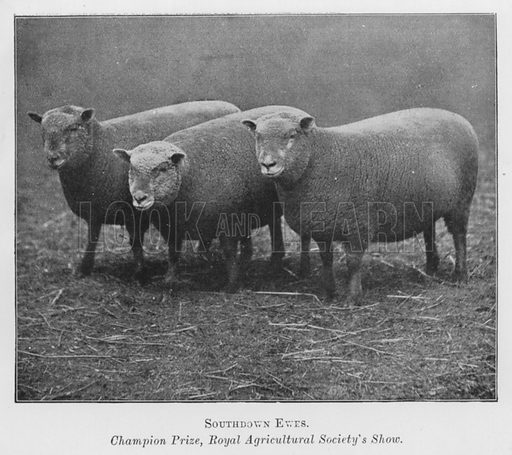 Shouthdown Ewes, Champion Prize, Royal Agricultural Society's Show. Illustration for British Breeds of Live Stock (2nd edn, Board of Agriculture and Fisheries, London, 1913).