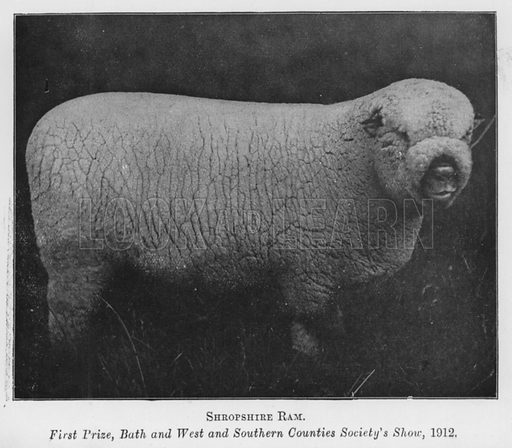 Shropshire Ram, First Prize, Bath and West and Southern Counties Society's Show, 1912. Illustration for British Breeds of Live Stock (2nd edn, Board of Agriculture and Fisheries, London, 1913).