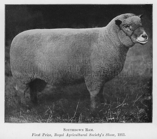 Southdown Ram, First Prize, Royal Agricultural Society's Show, 1911. Illustration for British Breeds of Live Stock (2nd edn, Board of Agriculture and Fisheries, London, 1913).
