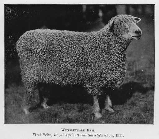 Wensleydale Ram, First Prize, Royal Agricultural Society's Show, 1911. Illustration for British Breeds of Live Stock (2nd edn, Board of Agriculture and Fisheries, London, 1913).