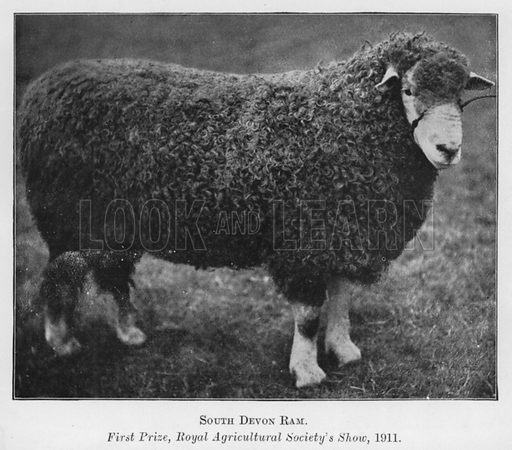 South Devon Ram, First Prize, Royal Agricultural Society's Show, 1911. Illustration for British Breeds of Live Stock (2nd edn, Board of Agriculture and Fisheries, London, 1913).