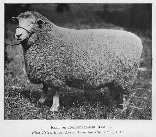 Kent or Romney-Marsh Ram, First Prize, Royal Agricultural Society's Show, 1911. Illustration for British Breeds of Live Stock (2nd edn, Board of Agriculture and Fisheries, London, 1913).
