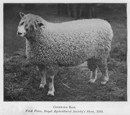 Cotswold Ram, First Prize, Royal Agricultural Society's Show, 1910. Illustration for British Breeds of Live Stock (2nd edn, Board of Agriculture and Fisheries, London, 1913).