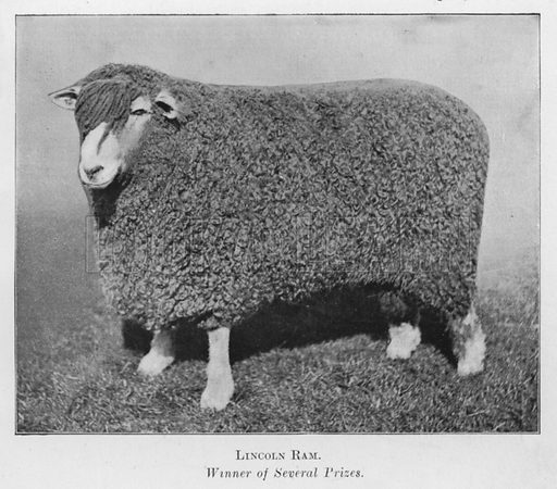 Lincoln Ram, Winner of Several Prizes. Illustration for British Breeds of Live Stock (2nd edn, Board of Agriculture and Fisheries, London, 1913).