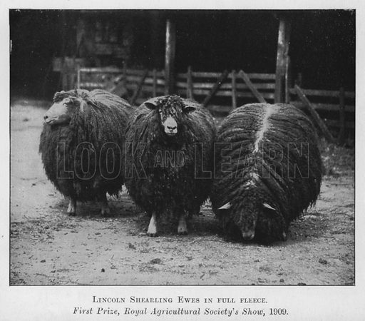 Lincoln Shearling Ewes in full fleece, First Prize, Royal Agricultural Society's Show, 1909. Illustration for British Breeds of Live Stock (2nd edn, Board of Agriculture and Fisheries, London, 1913).