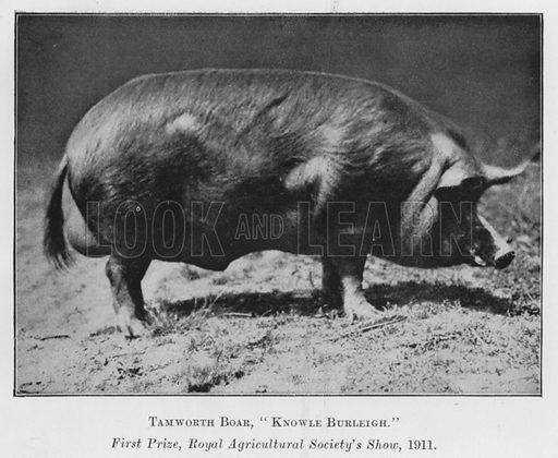 Tamworth Boar, Knowle Burleigh, First Prize, Royal Agricultural Society's Show, 1911. Illustration for British Breeds of Live Stock (2nd edn, Board of Agriculture and Fisheries, London, 1913).