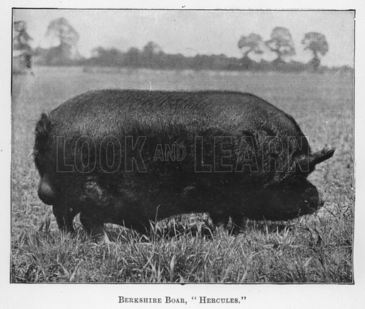 Berkshire Boar, Hercules. Illustration for British Breeds of Live Stock (2nd edn, Board of Agriculture and Fisheries, London, 1913).