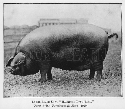 Large Black Sow, Hasketon Long Bess, First Prize, Peterborough Show, 1910. Illustration for British Breeds of Live Stock (2nd edn, Board of Agriculture and Fisheries, London, 1913).
