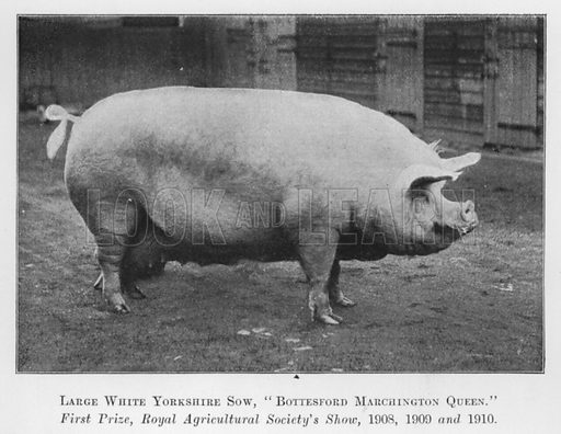 Large White Yorkshire Sow, Bottesford Marchington Queen, First Prize, Royal Agricultural Society's Show, 1908, 1909 and 1910. Illustration for British Breeds of Live Stock (2nd edn, Board of Agriculture and Fisheries, London, 1913).