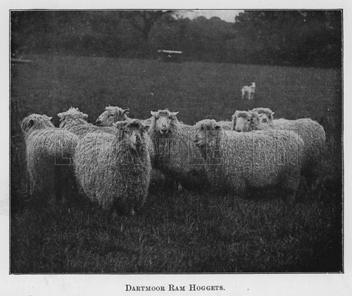 Dartmoor Ram Hoggets. Illustration for British Breeds of Live Stock (2nd edn, Board of Agriculture and Fisheries, London, 1913).
