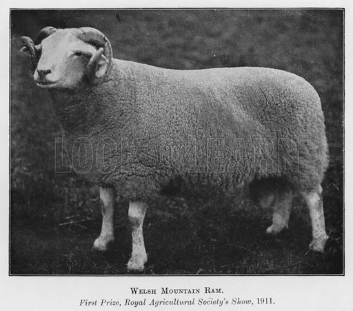 Welsh Mountain Ram, First Prize, Royal Agricultural Society's Show, 1911. Illustration for British Breeds of Live Stock (2nd edn, Board of Agriculture and Fisheries, London, 1913).