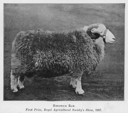 Herdwick Ram, First Prize, Royal Agricultural Society's Show, 1907. Illustration for British Breeds of Live Stock (2nd edn, Board of Agriculture and Fisheries, London, 1913).